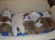 Bulldog Inglés cachorros gratis