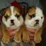 Lindo y adorable Bulldog Inglés cachorros para la adopción ..