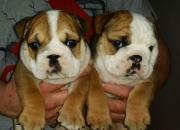 Lindo y adorable bulldog inglés cachorros para la…