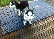 Perritos del husky siberiano para la venta