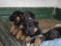 PASTORES ALEMANES ,cachorros con excelente pedigree