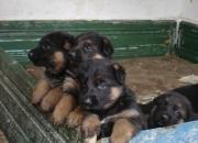 Pastores alemanes ,cachorros con excelente pedigr…