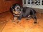 Excelentes Cachorros Rottweiler De Buena Linea Alemana