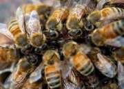 Abejas asesinas - retiramos panales de abejas en lima peru 792-4646